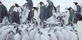 Antartika'daki Penguen Kolonisi Üreme Yetersizliğinden Sona Yaklaşıyor