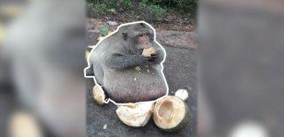 Tayland'ın En Ünlü ve Obez Maymunu: Şişman Amca!