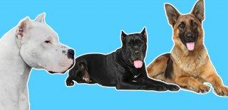 Dünya'nın En Tehlikeli 12 Köpeği!