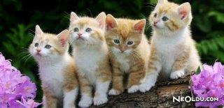 Kedi Videoları İzlemek Sağlığınıza Faydalı