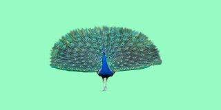 Rüyada Tavus Kuşu Görmek Ne Anlama Gelir?