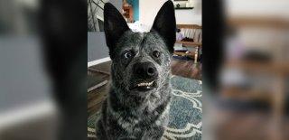 Instagram'da 92 Bin Takipçisi Bulunan Mucize Köpek: Moose!
