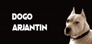 Dogo Arjantin Köpeği Hakkında Bilmeniz Gereken 10 Şey