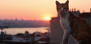 Kedilerin Kökeni Neresidir? Araştırmalara Göre Kedilerin Kökeni Türkiye!