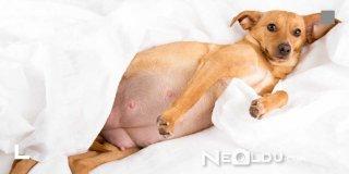 Yavru ve Yetişkin Köpekler İçin En İyi 5 Hamile ve Emziren Köpek Maması