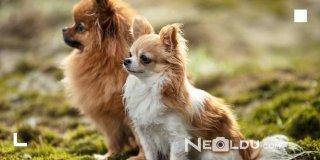 Hassas Bünyeye Sahip Köpekler İçin En İyi 5 Hipoalerjenik Köpek Maması