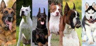 En Vahşi Köpek Türleri - Dünya'nın En Tehlikeli 12 Köpeği!