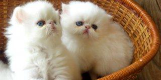 Kedi Sahipleneceklerin Dikkatine: İlk Kez Yavru Kedi Bakacaklara Tavsiyeler