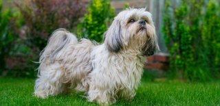Shih TzuCinsi Köpek Bakımı ve Özellikleri