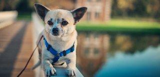 Chihuahua (Şivava) Cinsi Köpek Bakımı ve Özellikleri
