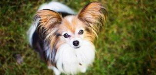 Papillon Cinsi Köpek Bakımı ve Özellikleri