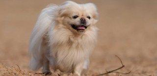Pekingese (Pekinez) Cinsi Köpek Bakımı ve Özellikleri