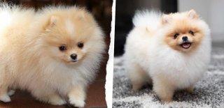 Pomeranian (Boo) Cinsi Köpek Bakımı ve Özellikleri