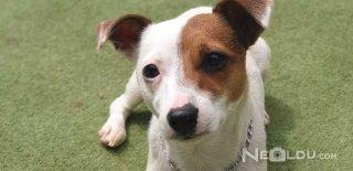 Jack Russell Terrier Cinsi Köpek Bakımı ve Özellikleri