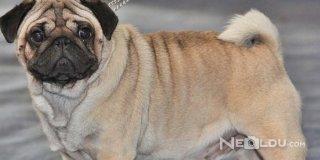 Pug Cinsi Köpek Bakımı ve Özellikleri