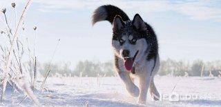 Sibirya Kurdu (Husky) Bakımı ve Özellikleri
