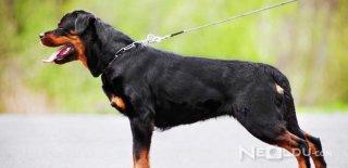 Rottweiler Cinsi Köpek Bakımı ve Özellikleri