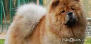 Çin Aslanı (Chow Chow) Cinsi Köpek Bakımı ve Özellikleri