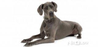 Danua (Alman Mastifi) Cinsi Köpek Bakımı ve Özellikleri
