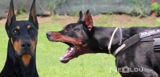 Doberman Cinsi Köpek Bakımı ve Özellikleri