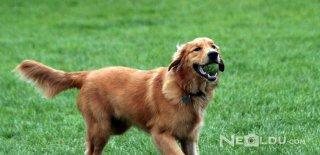 Golden Retriever Cinsi Köpek Bakımı ve Özellikleri