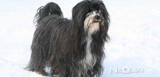 Tibet Terrier Cinsi Köpek Bakımı ve Özellikleri