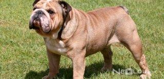 İngiliz Bulldog Cinsi Köpek Bakımı ve Özellikleri