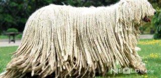 Komondor (Macar Çoban) Cinsi Köpek Bakımı ve Özellikleri