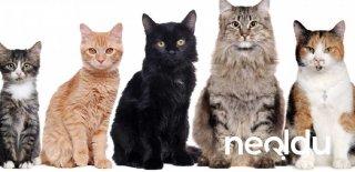Kedi Cinsleri, Türleri ve Irk Özellikleri