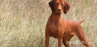 Vizsla Cinsi Köpek Bakımı ve Özellikleri