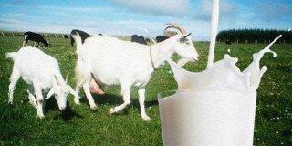 Keçi Sütünün Faydaları Nelerdir? Neye İyi Gelir?
