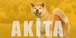 Akita Cinsi Köpek Bakımı ve Özellikleri