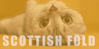 Scottish Fold: Özellikleri, Bakımı ve Karakteri