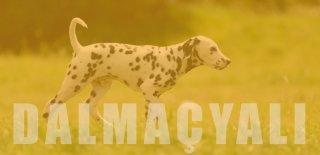 Dalmaçyalı (Dalmatian) Cinsi Köpek Bakımı ve Özellikleri