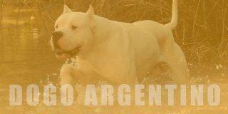 Dogo Argentino Köpek Cinsi Hakkında 10 Bilgi