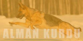 Alman Kurdu (K9) Cinsi Köpek Bakımı ve Özellikleri