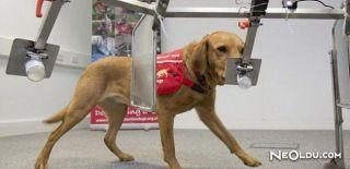 Köpekler Koklayarak Kanser Teşhisi Koyacak